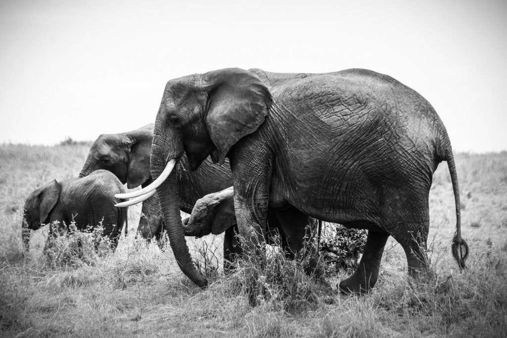 """""""Every day, around 55 elephants are slaughtered for their ivory"""""""